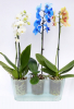 prusvitny-truhlik-ciry-triola-pro pestovani-orchideji.jpg