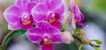 Murovec-phalaenopsis-rozova-orchidej.jpg
