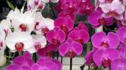 Murovec-phalaenopsis-rozova-fialova-orchidej.jpg